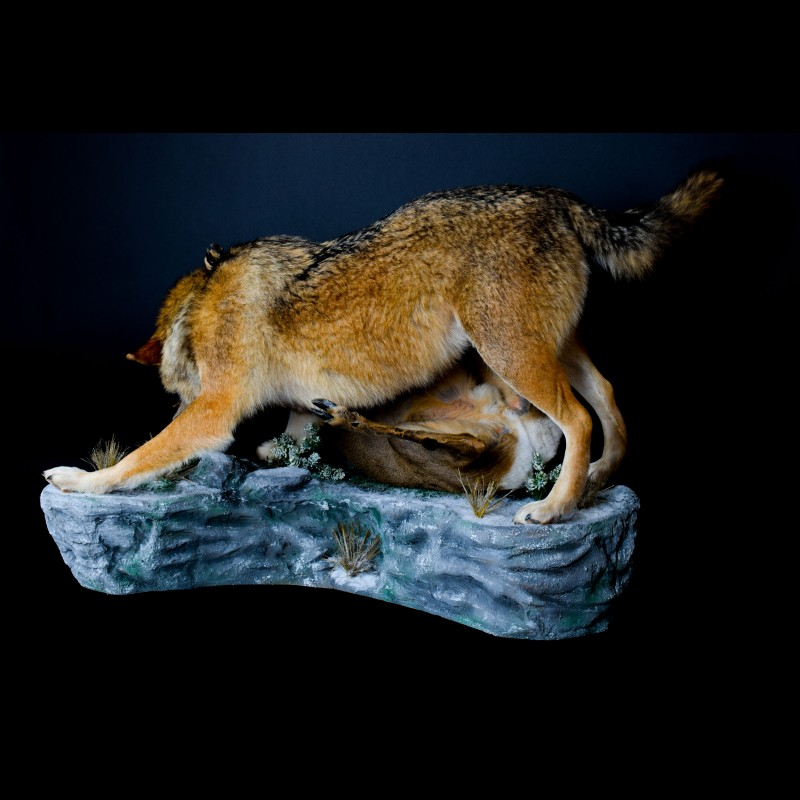Wolf  with Roe deer Taxidermy Mount For Sale