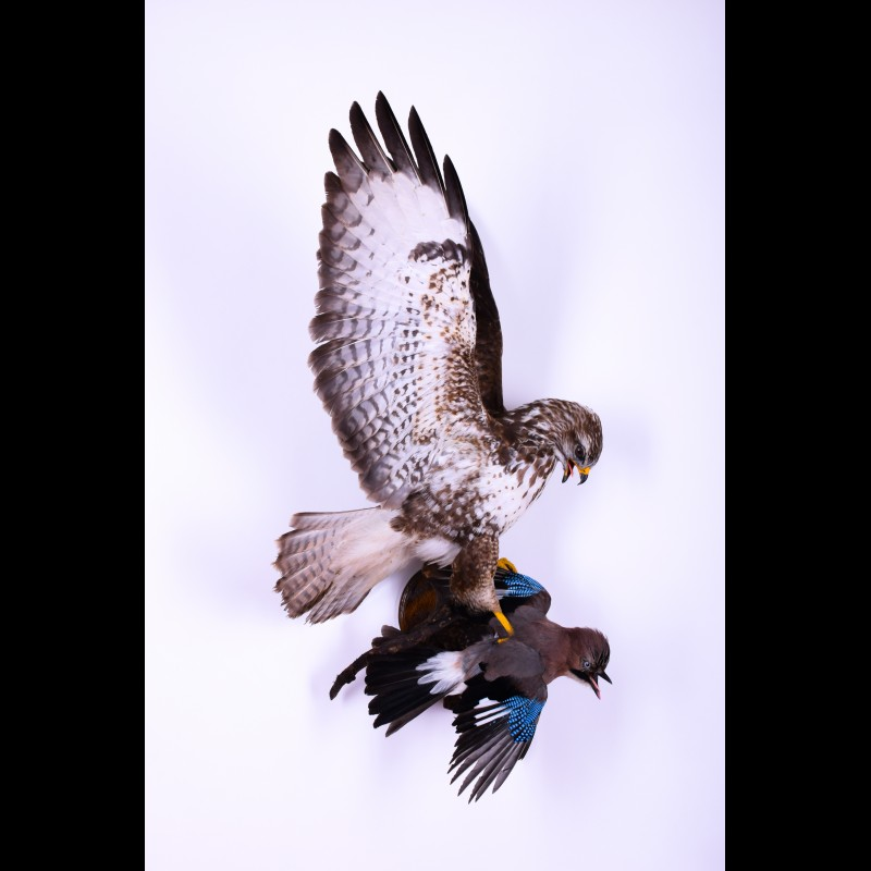 Buzzard with jay Taxidermy Mount For Sale