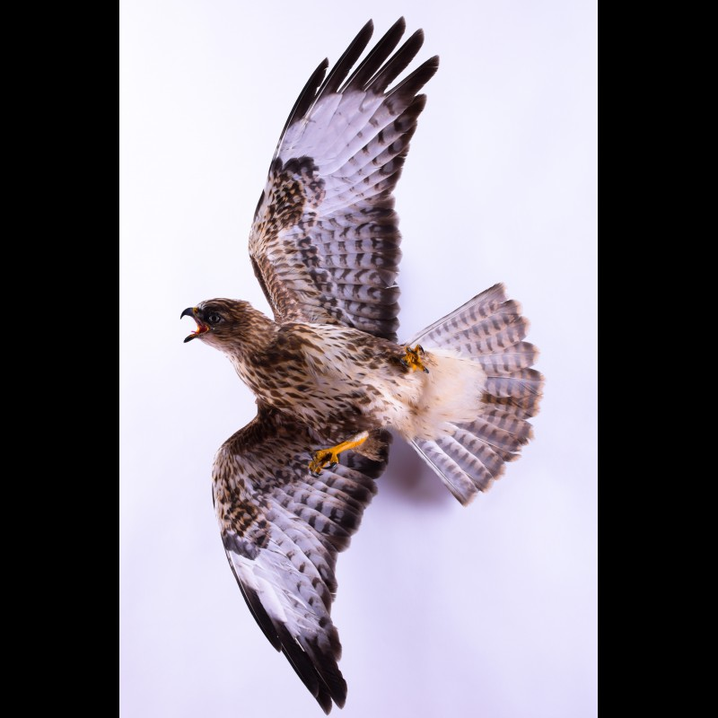 Buzzard Taxidermy Mount For Sale