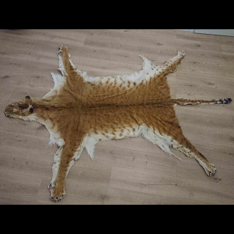 Liger for taxidermy or carpet