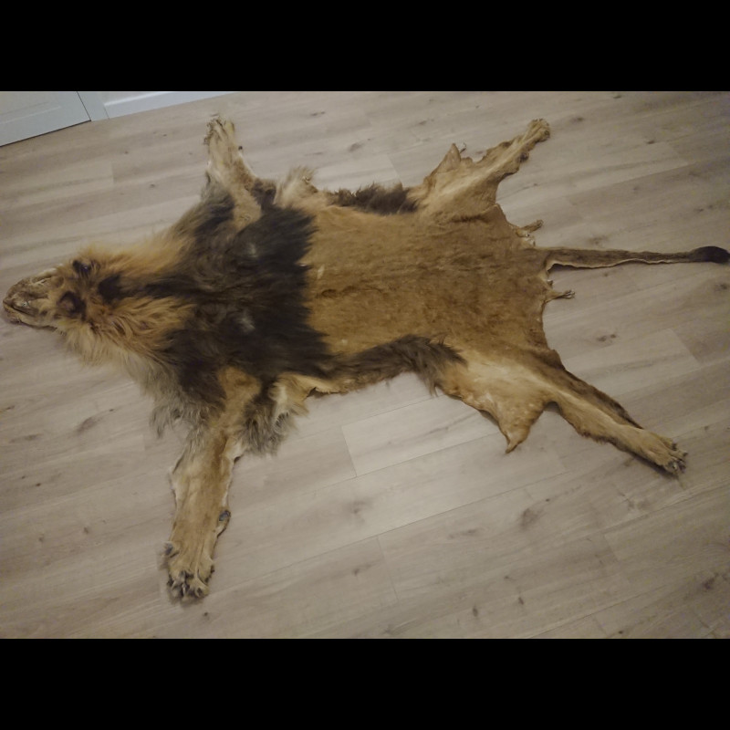 Lion for taxidermy or carpet