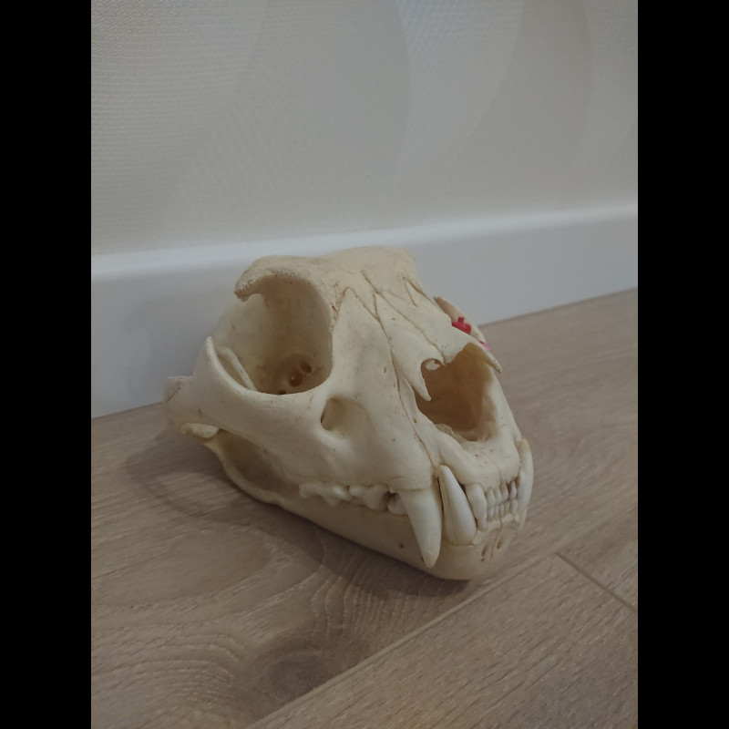 Skull Snow leopard Taxidermy Mount For Sale