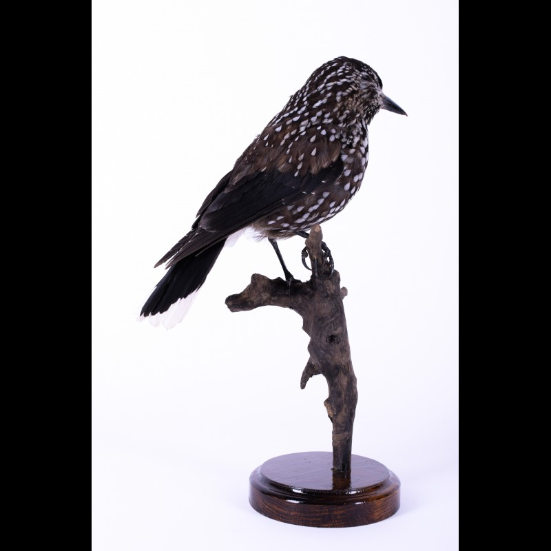 Spotted nutcracker Taxidermy Mount For Sale