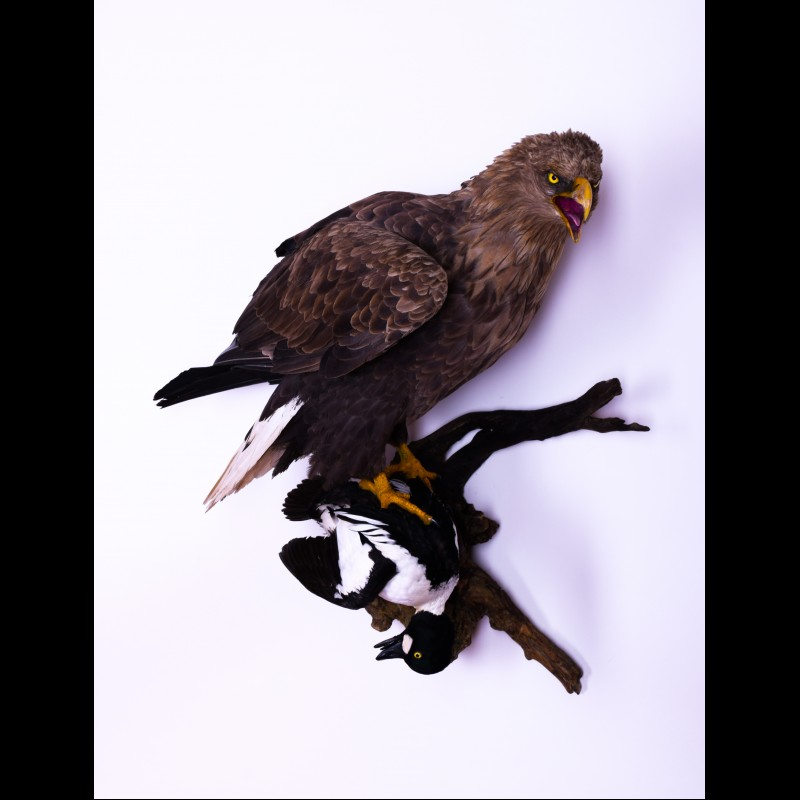 White-tailed eagle with Goldeneye Taxidermy Mount For Sale