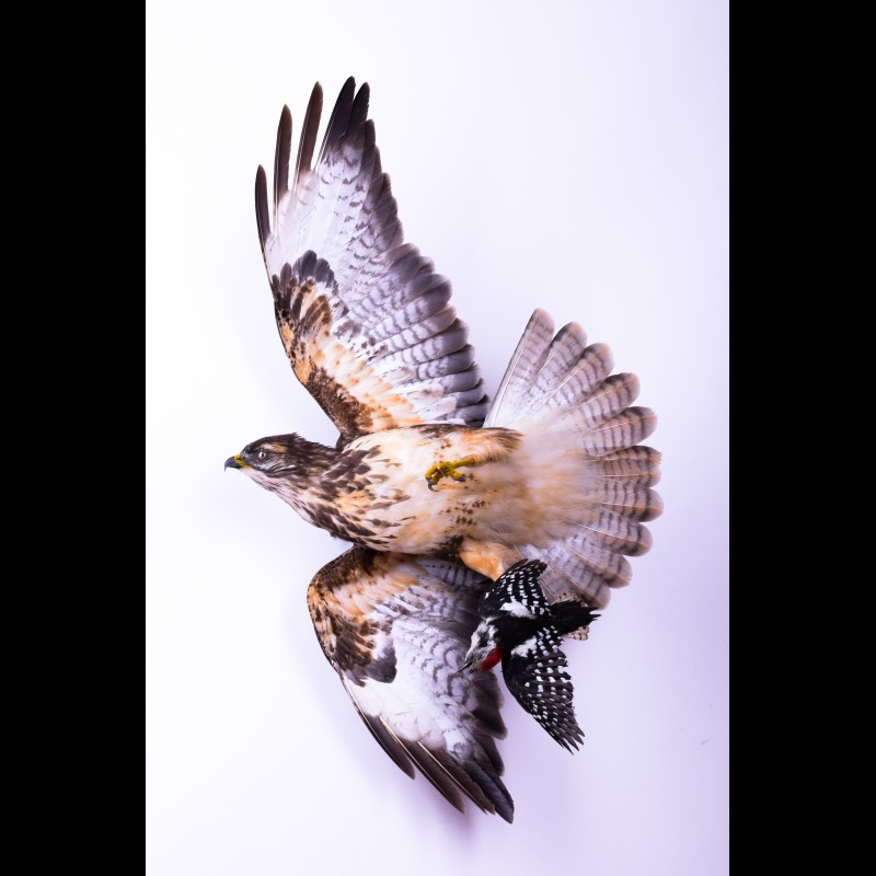 Buzzard with woodpecker Taxidermy Mount For Sale