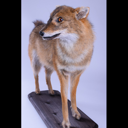 Jackal Taxidermy Mount For Sale