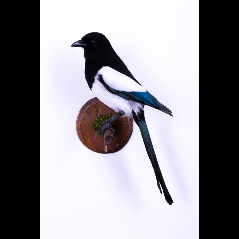 Magpie Taxidermy Mount For Sale