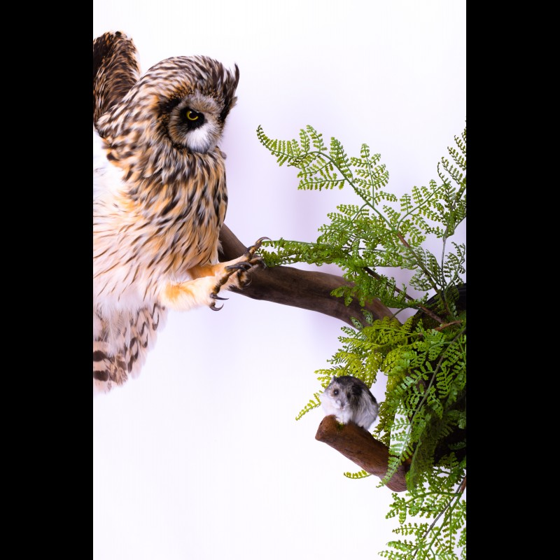 Long-eared owl with mouse Taxidermy Mount For Sale