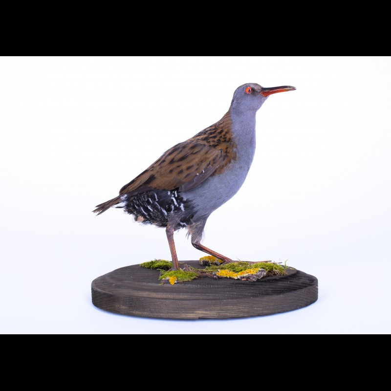 Water rail Taxidermy Mount For Sale