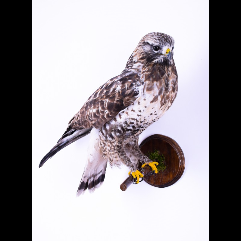 Rough-legged falcon Taxidermy Mount For Sale