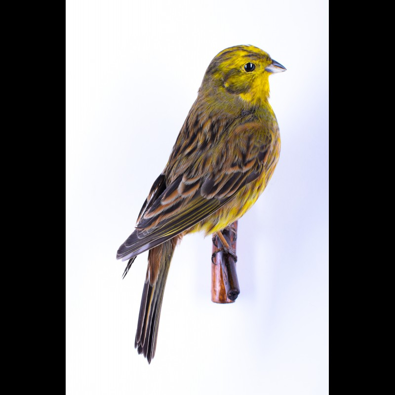 Yellowhammer Taxidermy Mount For Sale