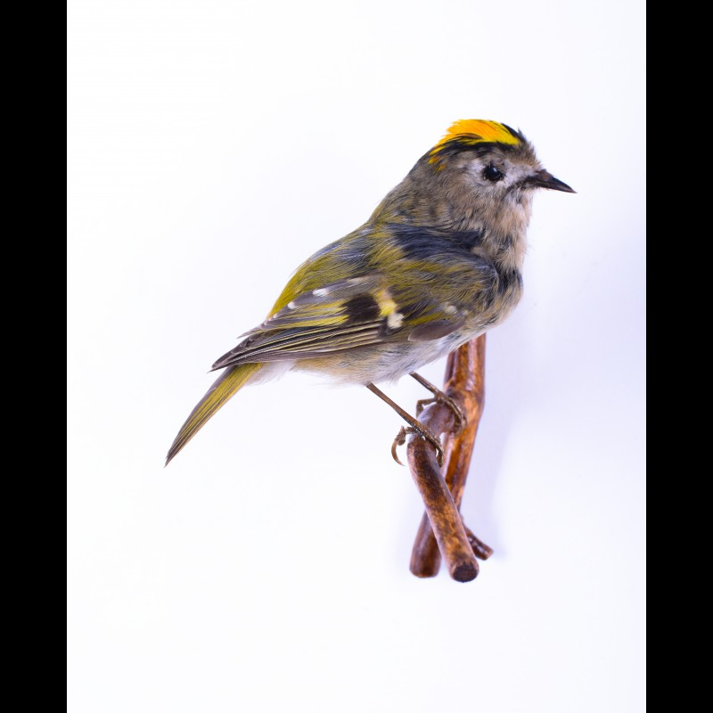 Goldcrest Taxidermy Mount For Sale
