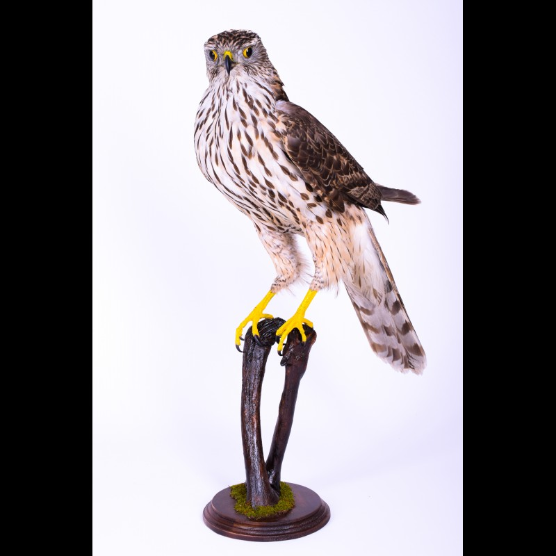 Northern goshawk Taxidermy Mount For Sale