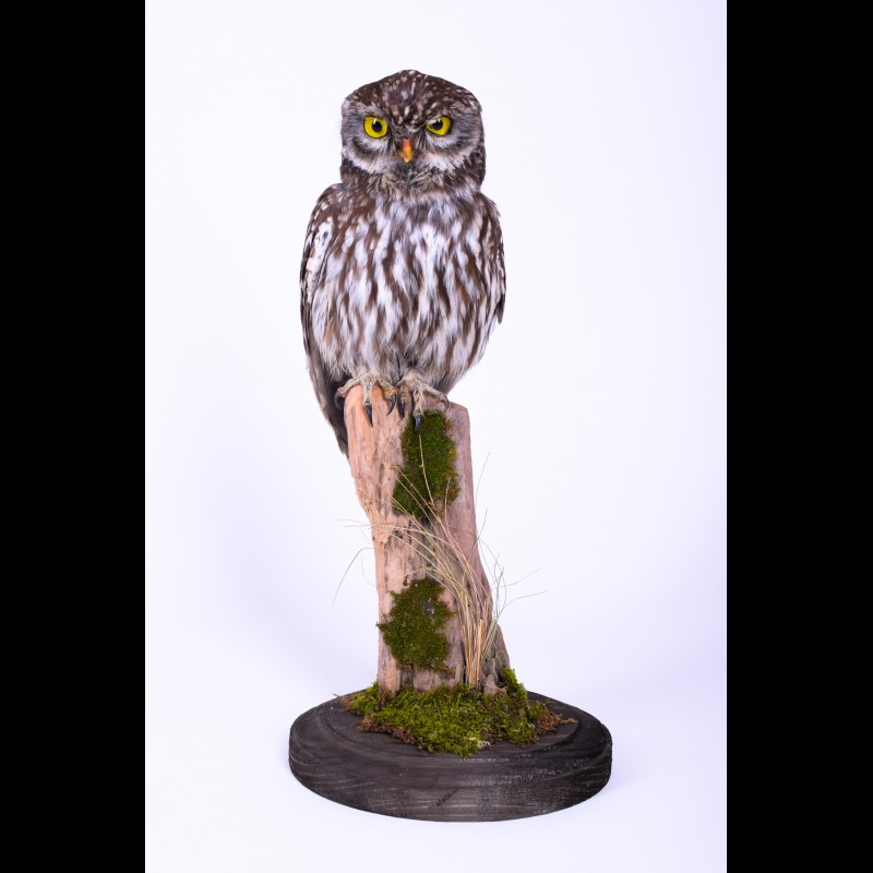 Little owl Taxidermy Mount For Sale