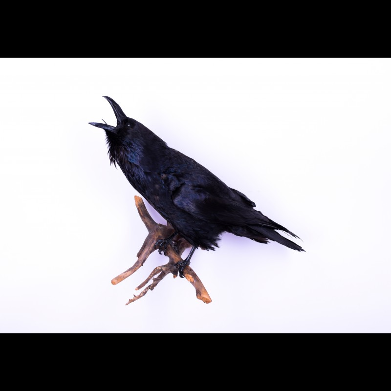 Raven Taxidermy Mount For Sale