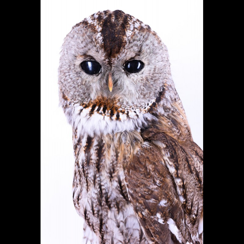 Tawny owl Taxidermy Mount For Sale