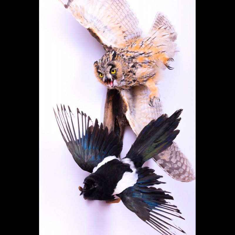 Long-eared owl with magpie Taxidermy Mount For Sale