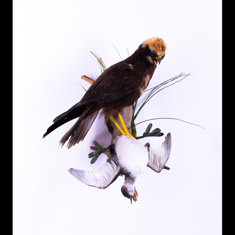 Western marsh harrier with Black-necked grebe Taxidermy Mount For Sale