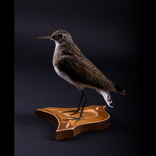 Green sandpiper Wader Taxidermy Mount For Sale