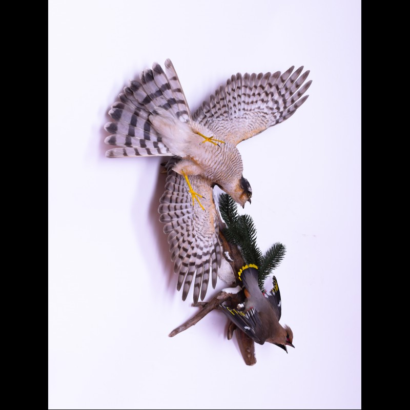 Eurasian sparrowhawk with waxwing Taxidermy Mount For Sale