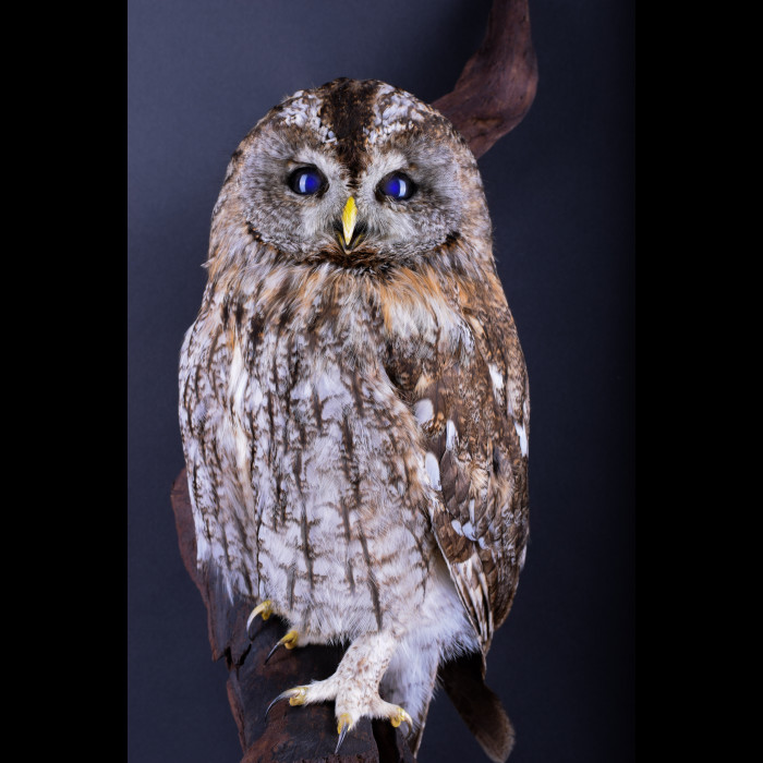 Tawny owl or Brown owl Taxidermy Mount For Sale