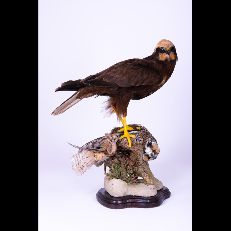Western marsh harrier with Owl Taxidermy Mount For Sale