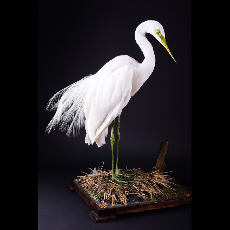 Great Egret Heron Taxidermy Mount For Sale