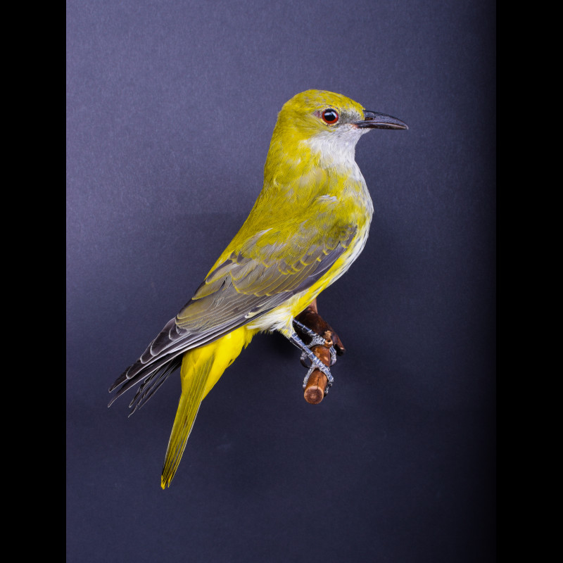 Eurasian golden oriole Taxidermy Mount For Sale