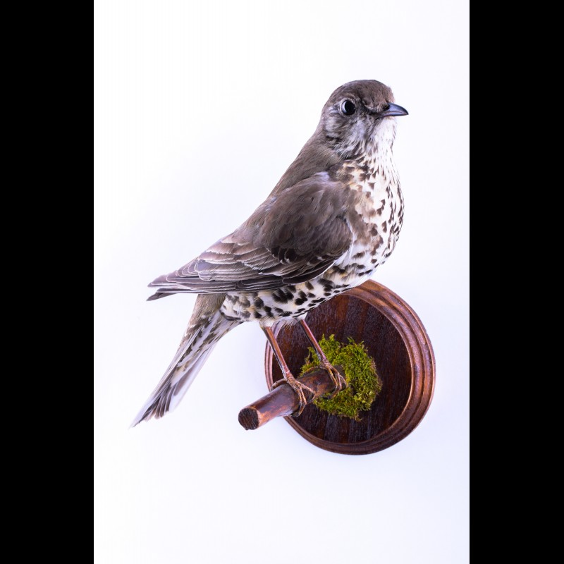 Song thrush Taxidermy Mount For Sale