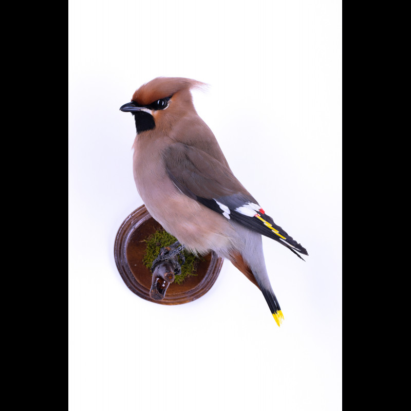 Waxwing Taxidermy Mount For Sale
