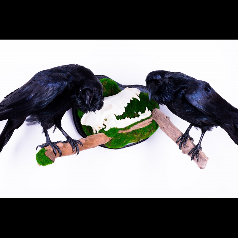 Pair Raven with wolf skull Taxidermy Mount For Sale
