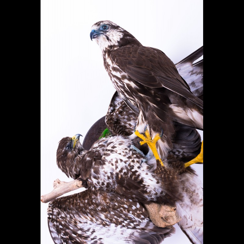 Saker falcon with buzzard Taxidermy Mount For Sale