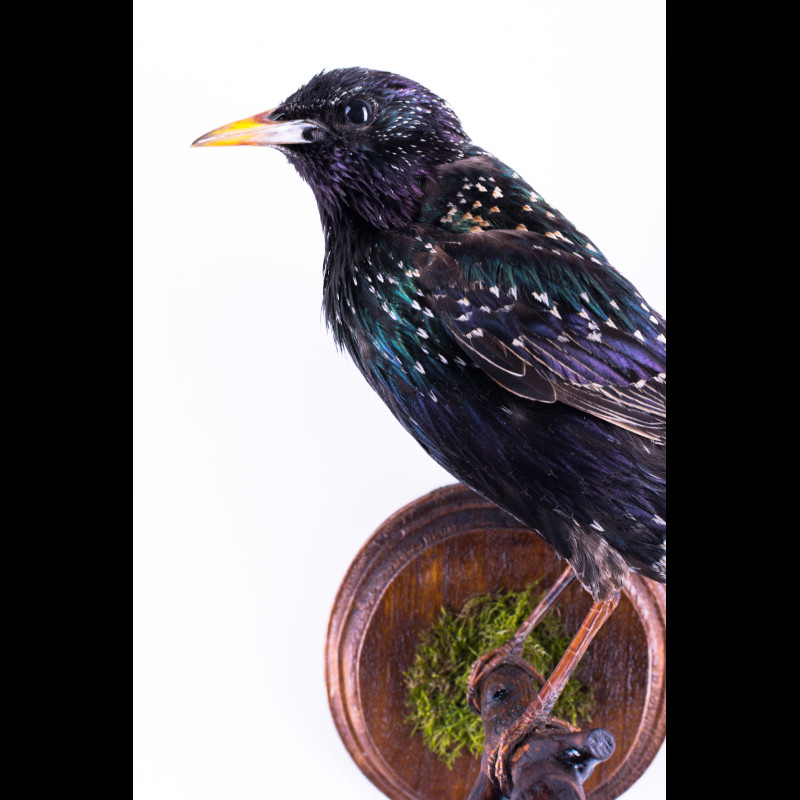 Starling Taxidermy Mount For Sale