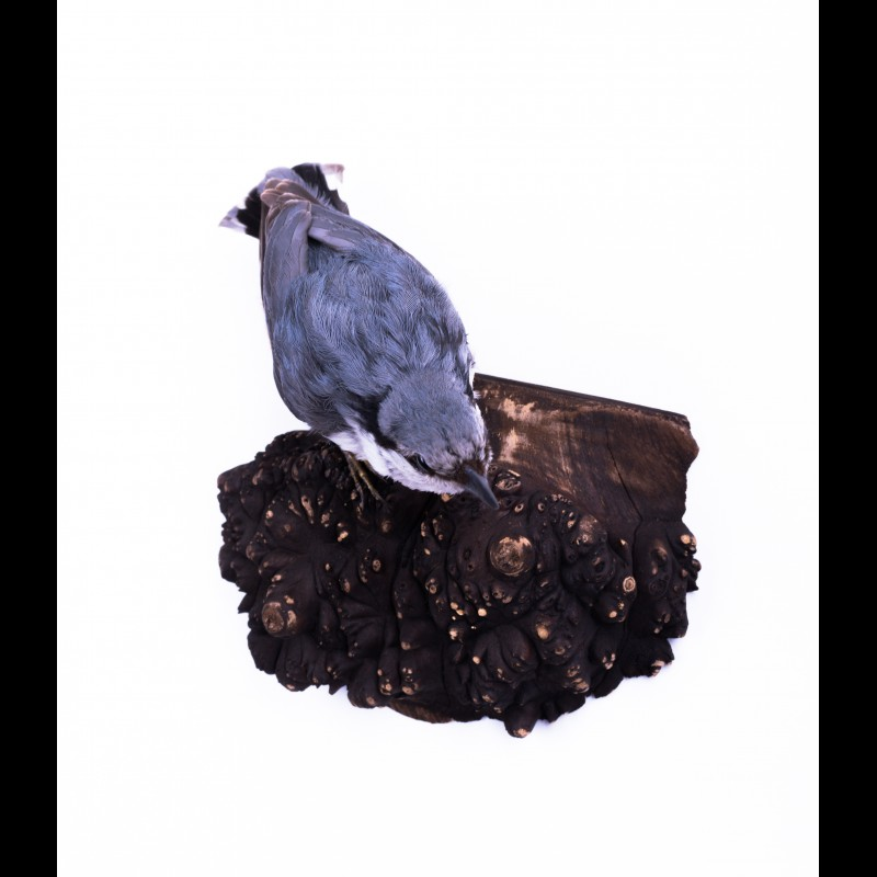 Siberian nuthatch Taxidermy Mount For Sale