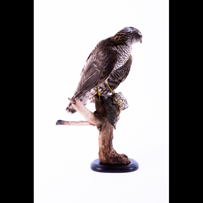 Eurasian sparrowhawk with Song thrush Taxidermy Mount For Sale