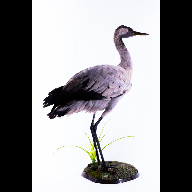 Crane Taxidermy Mount For Sale