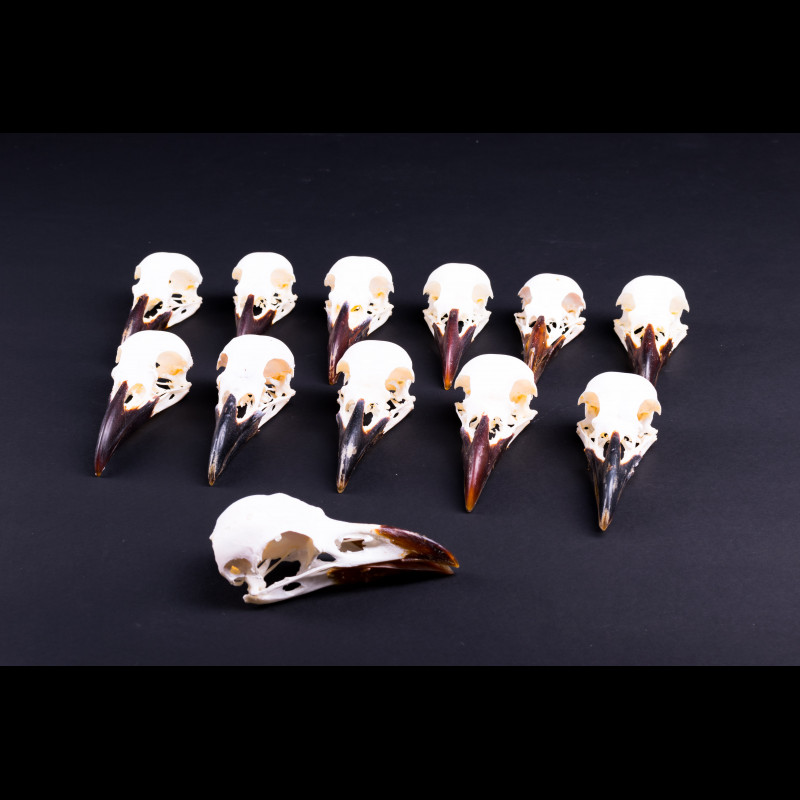Raven Skull Taxidermy For Sale