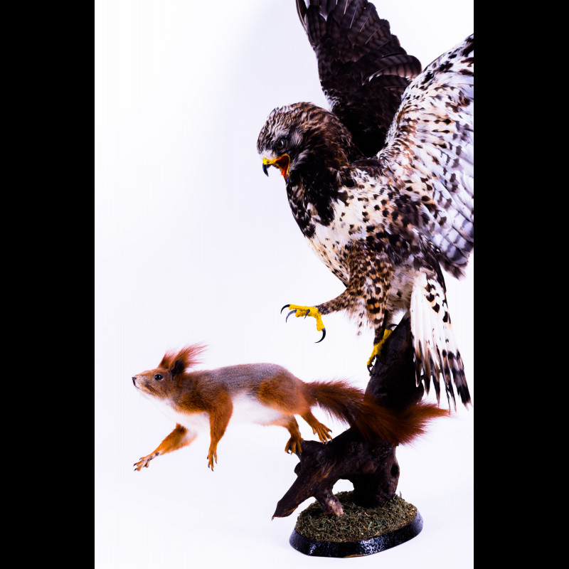Buzzard with squirrel Taxidermy Mount For Sale