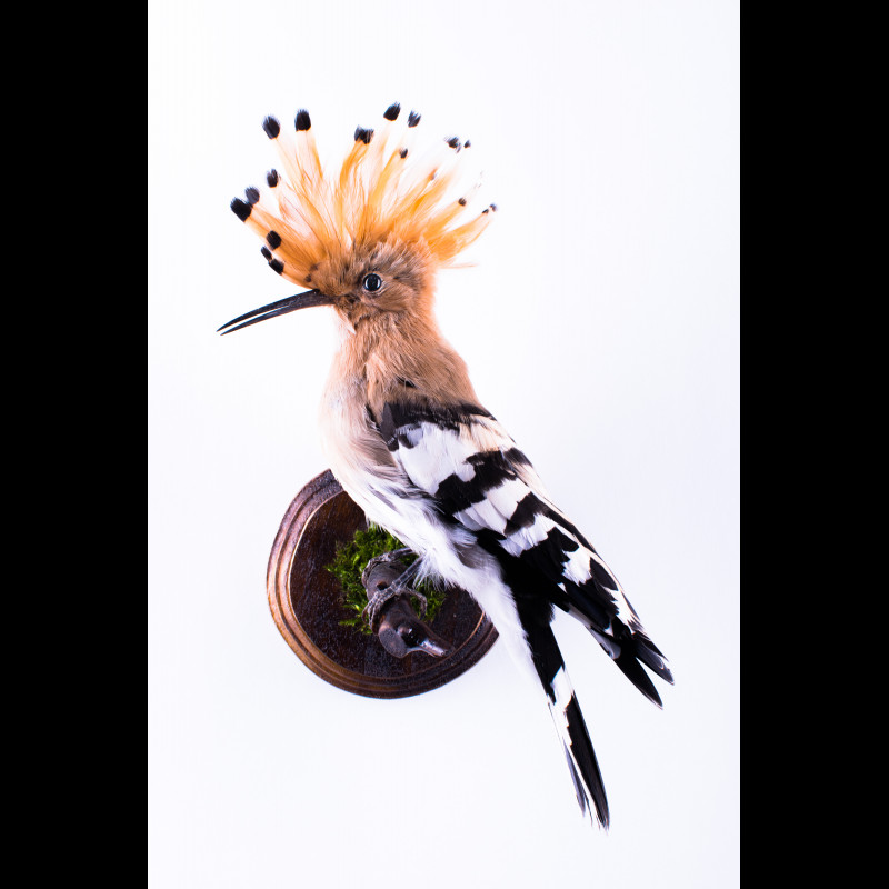 Hoopoe Taxidermy Mount For Sale