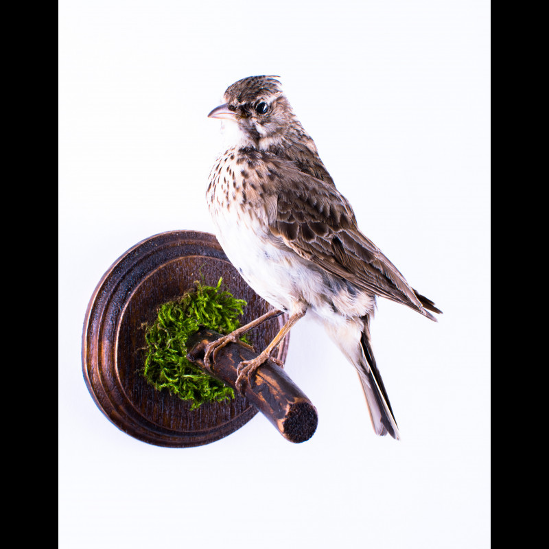 Crested lark Taxidermy Mount For Sale