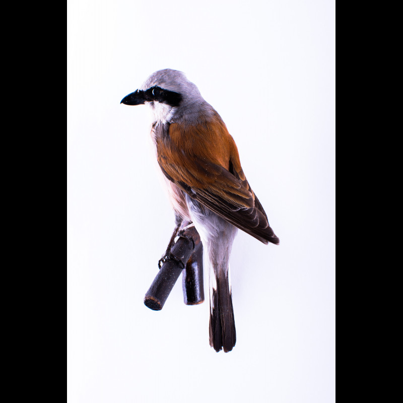 Red-backed shrike Taxidermy Mount For Sale