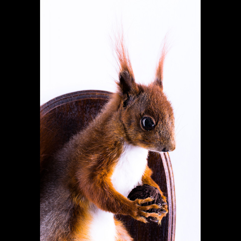 Squirrel Taxidermy Mount For Sale