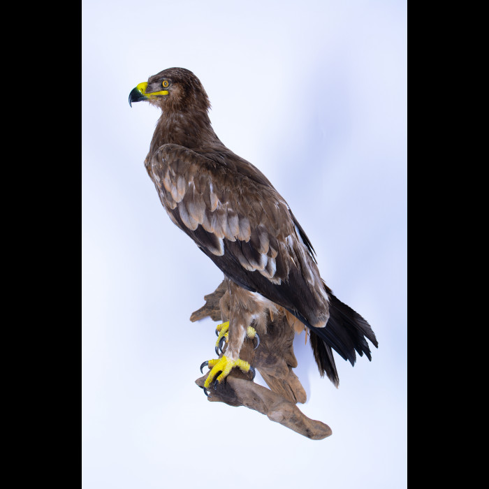 Imperial eagle Taxidermy Mount For Sale