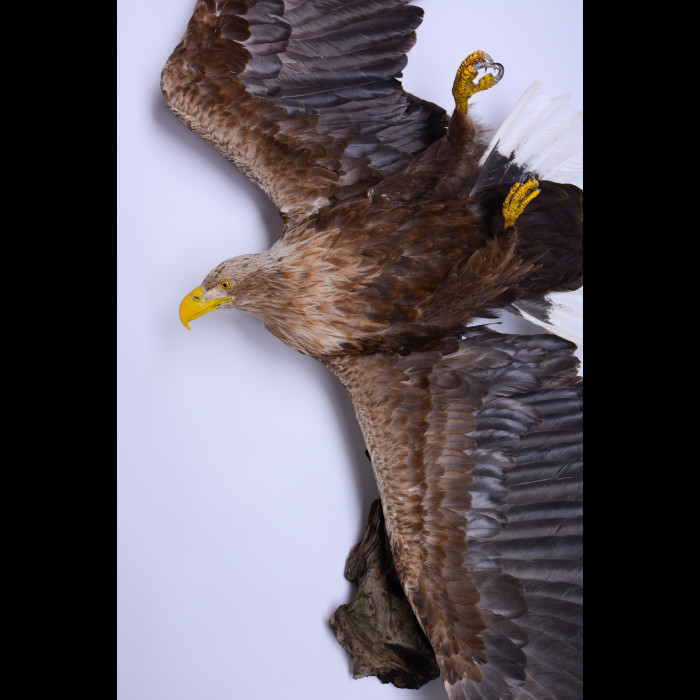 White-tailed eagle Taxidermy Mount For Sale