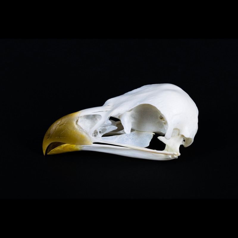 White-tailed eagle Skull Taxidermy Mount For Sale