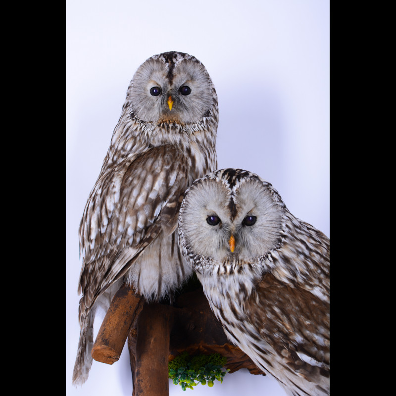 Pair Ural Owl Taxidermy Mount For Sale