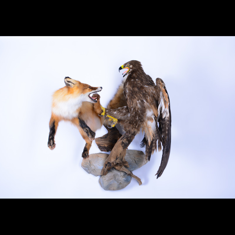 Greater spotted eagle with fox Taxidermy Mount For Sale
