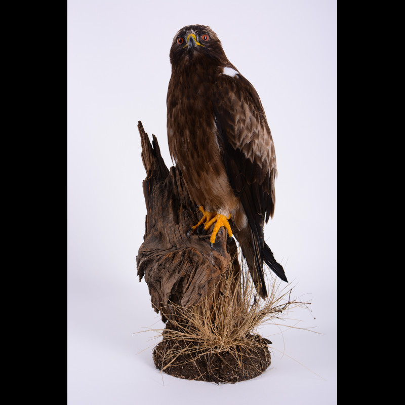 Booted eagle Taxidermy Mount For Sale