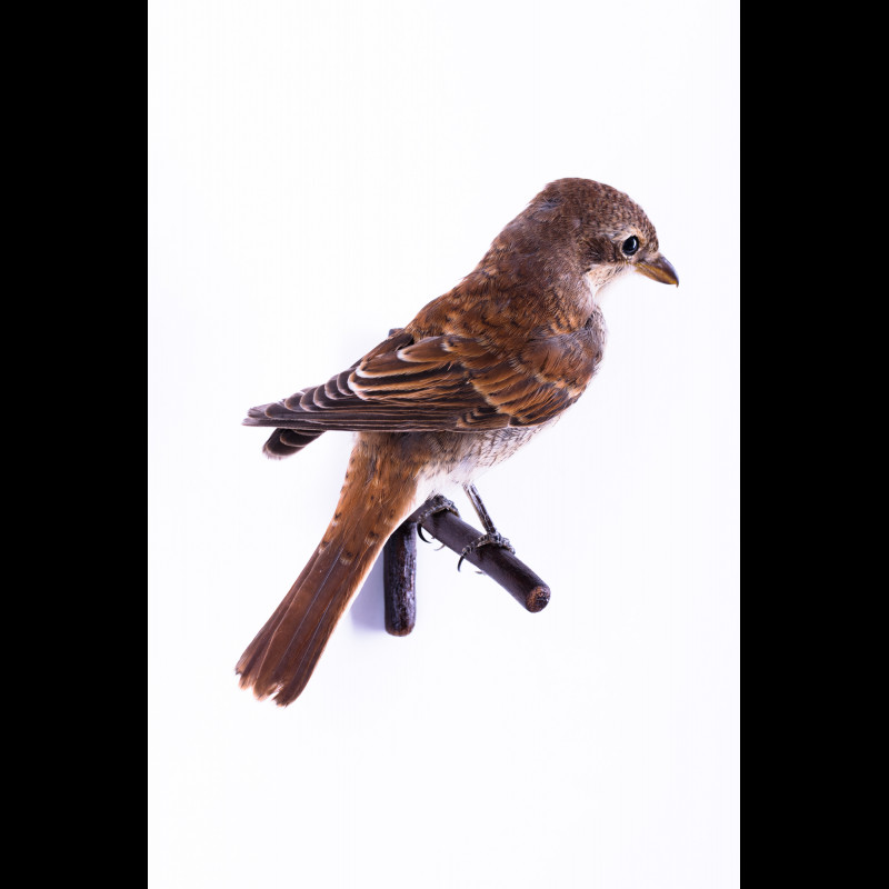 Sparrowhawk with Hawfinch Taxidermy Mount For Sale