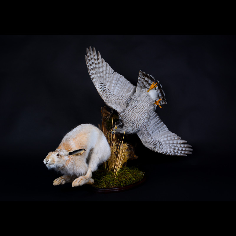 Northern goshawk with hare Taxidermy Mount For Sale